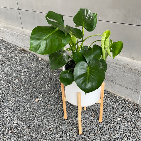 Monstera in Planter + Stand