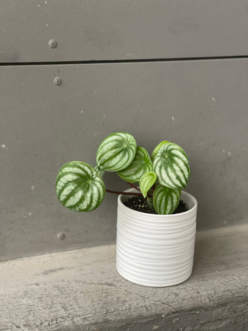 Watermelon Peperomia in Boulder Planter