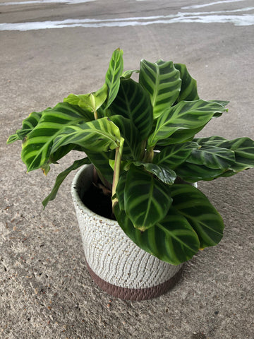 Calathea in Rust Planter