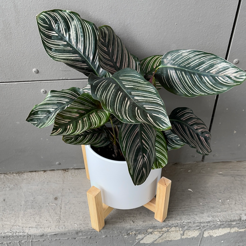 Pinstripe in Matte Plant Stand