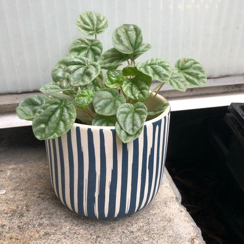 Ripple Pepperomia in Stripes Planter