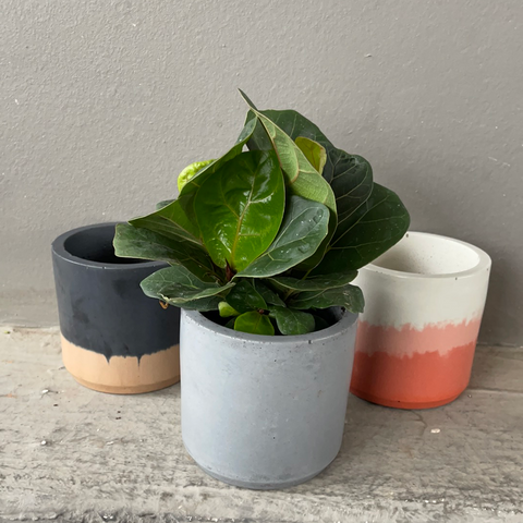 Mini Fiddle Leaf Fig in Cement Planters (choose color)