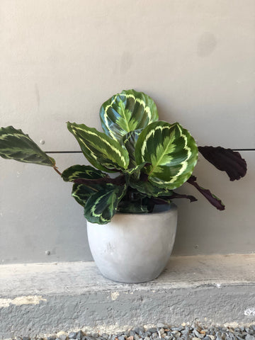 Calathea Medallion in Cement Planter