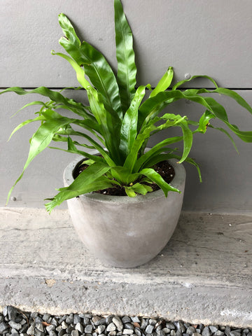 Birds Nest Fern in Cement Planter