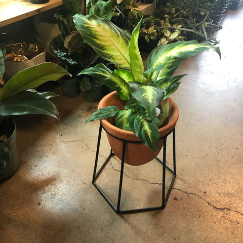 Chinese Evergreen in Plant Stand