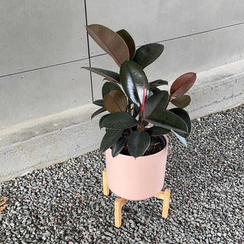 Rubber Tree Burgandy in Rose Otto Plant Stand