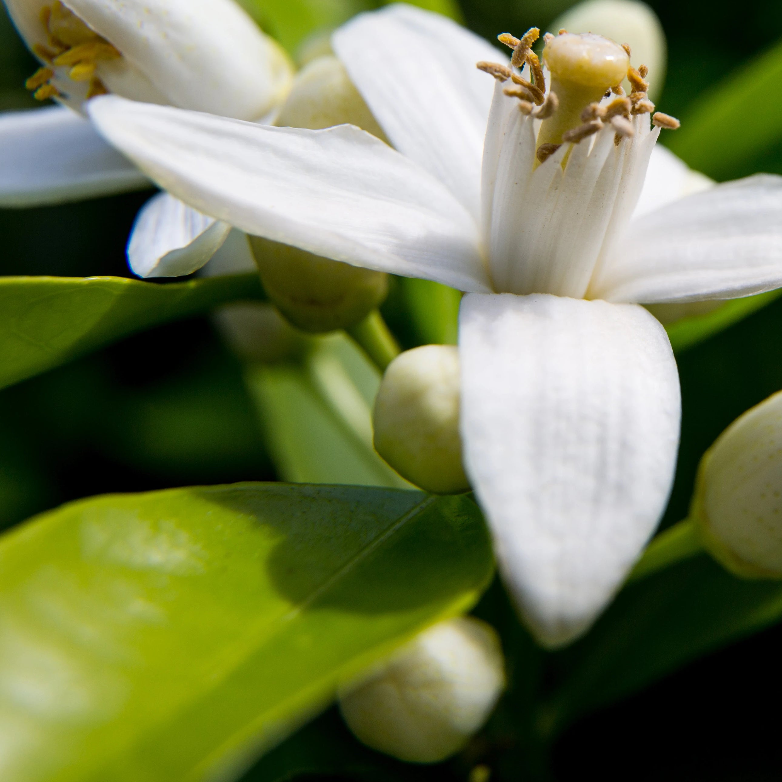 Fresh Neroli Essential Oil for Skin