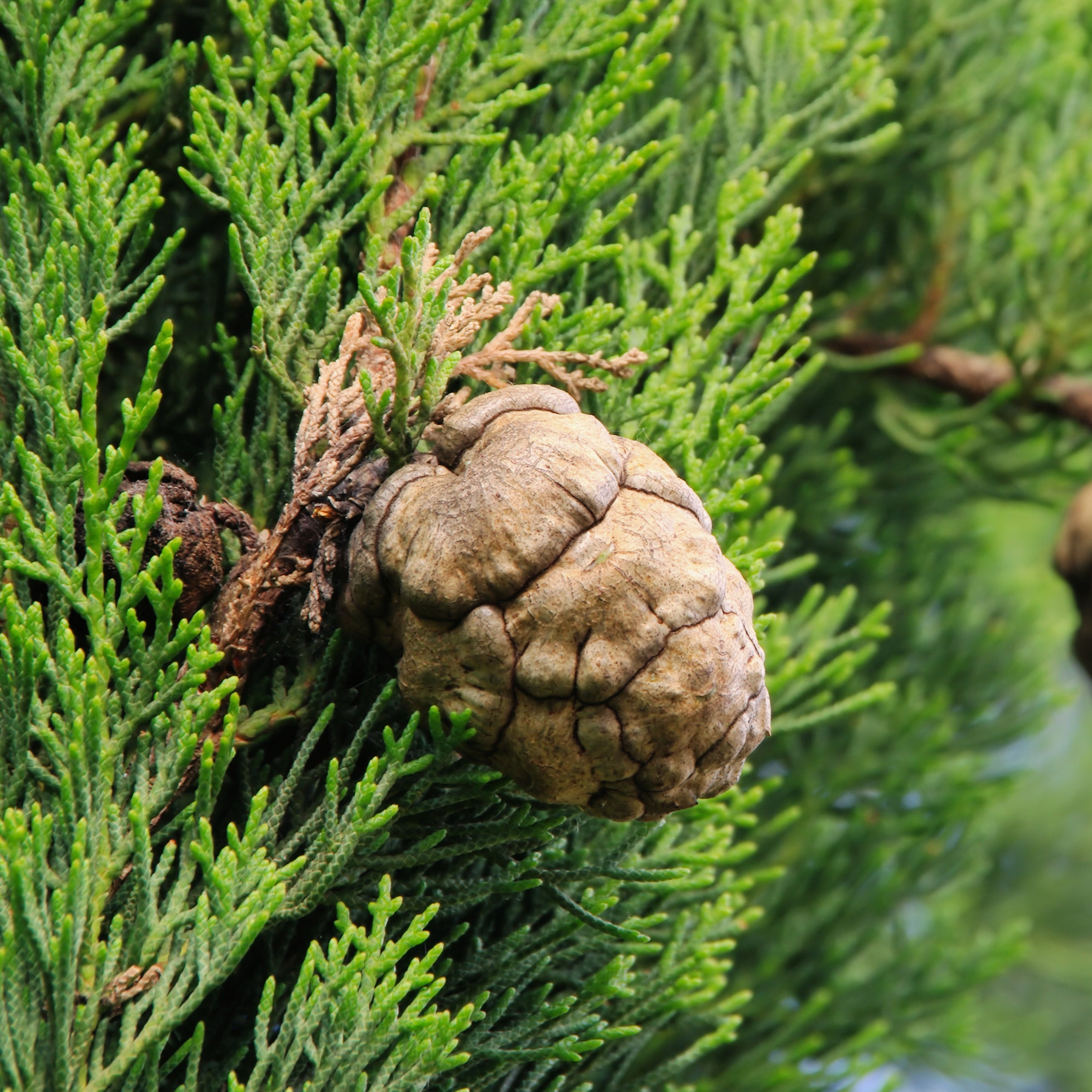 Cypress Essential Oil Emotional Benefits