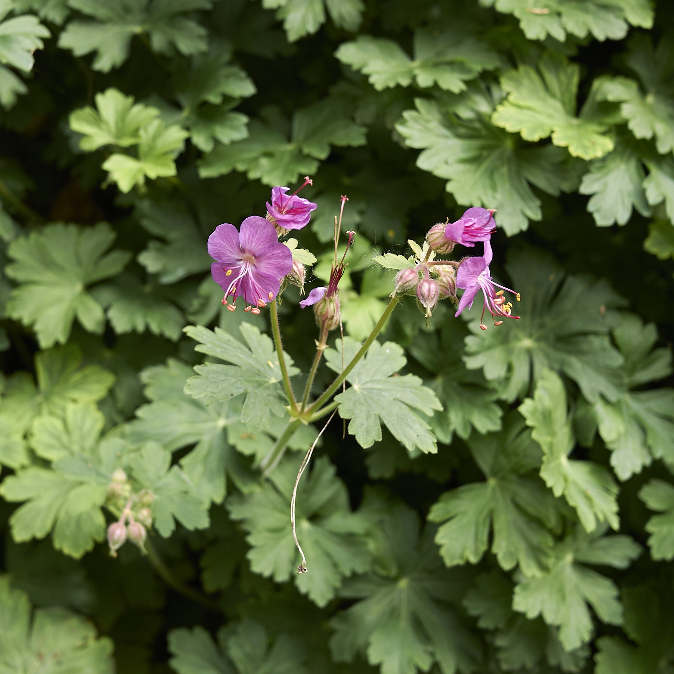 Fresh Geranium Used in Essential Oil