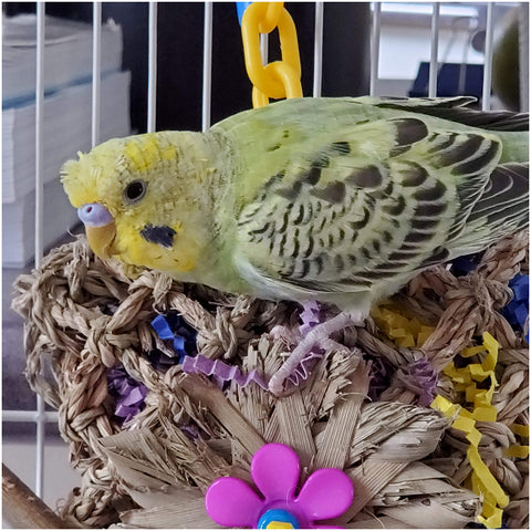 Crested Budgie with Pick Pocket Shreddable Foraging Bird Toy