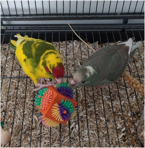 Kakariki parrots playing with Porcupine Cube Foot Toy for Pet Birds