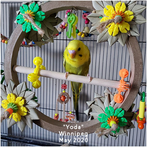 Stop Over bagel swing with shreddables for small parrots with Yoda the budgie