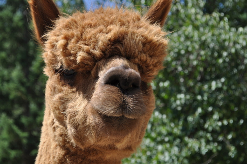 6 health benefits of Alpaca wool you might not know