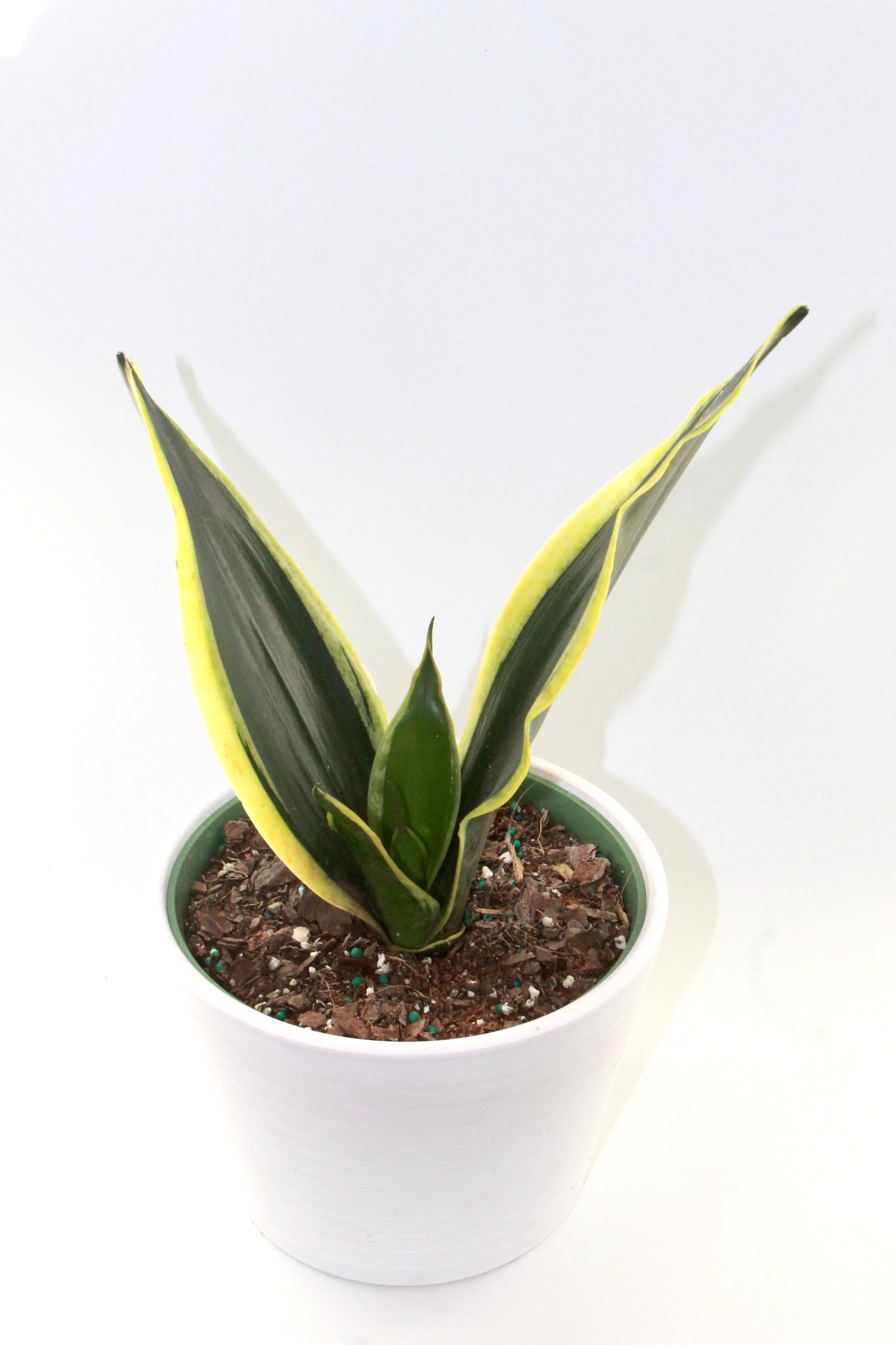 Black Gold Sansevieria