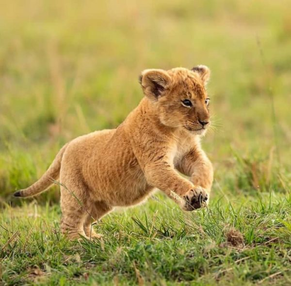 Buy Lions cubs for sale