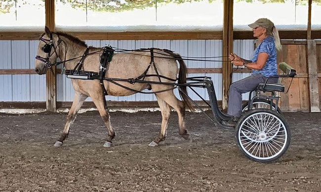 American Curly ride/drive pony gelding