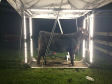 Load image into Gallery viewer, Show steer with Show Brite LED lighting