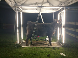 Show steer with Show Brite LED lighting