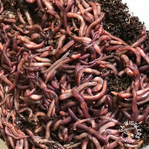 Ga Wigglers Red Wiggler Live Worms