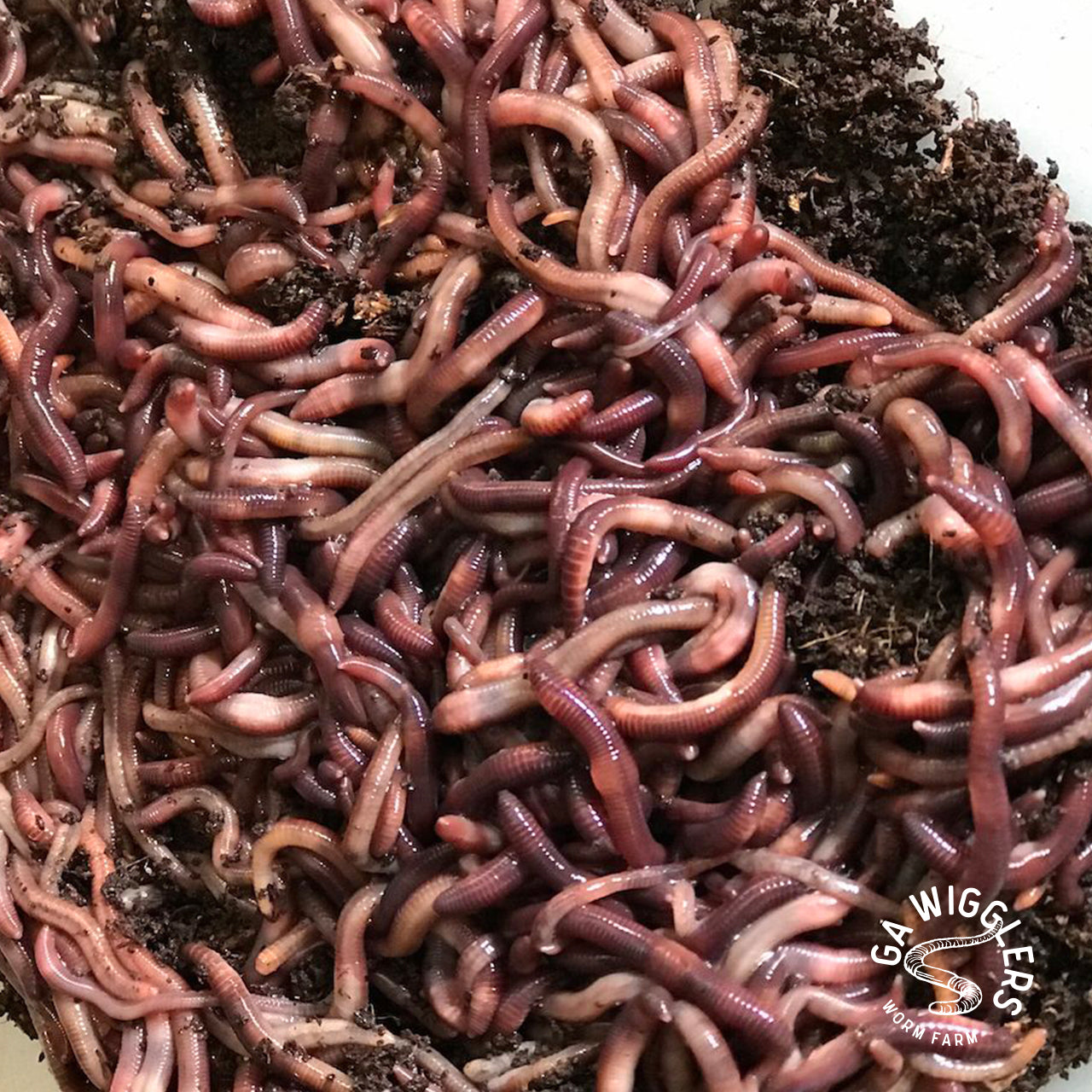 Red Wigglers Live Worms