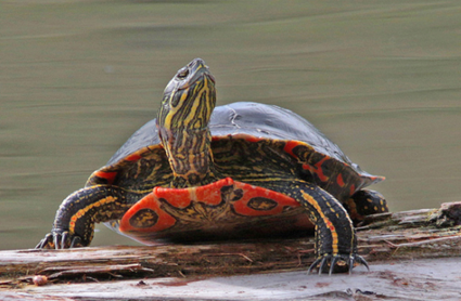 """This Painted Turtle says, """"Thank you kindly for protecting my home.""""  Photo: Born Free USA"""