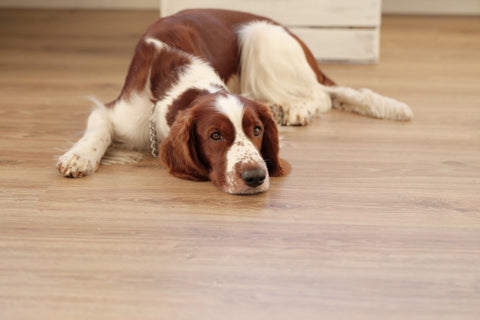 Dog On Dirty Floor Needs To Be Cleaned With Organic Cleaners