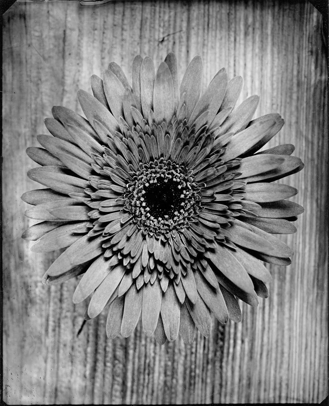 Gerber Daisy: Archival Prints - Various Sizes