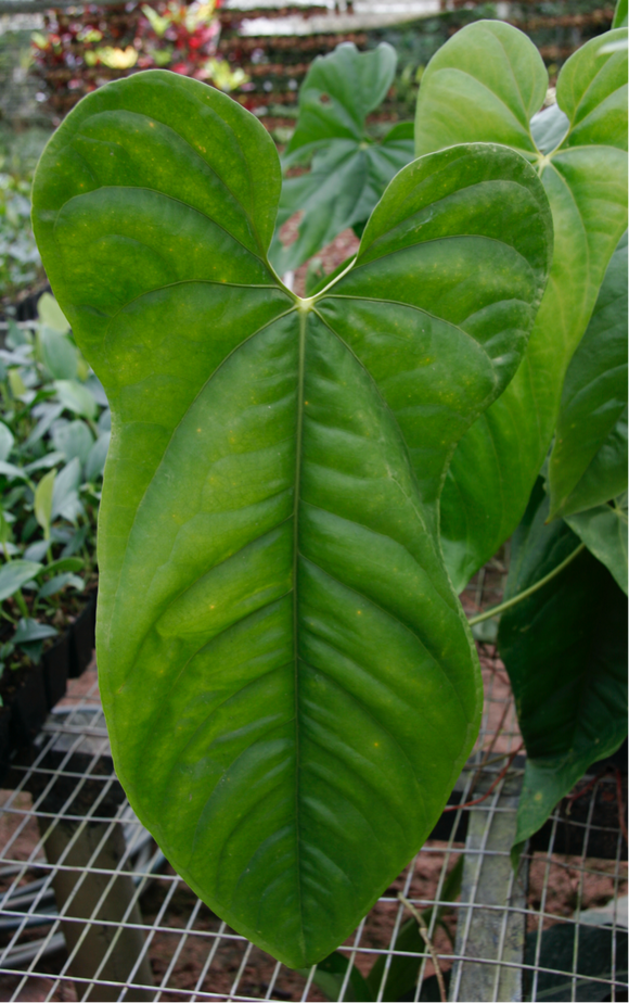 Anthurium bullatus seedling