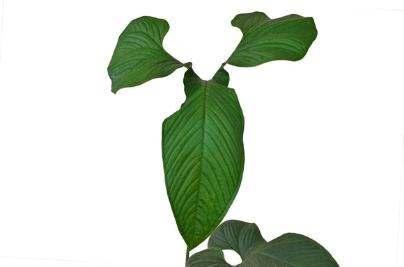 Anthurium draconopterum