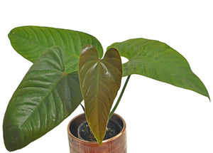 Anthurium recavum - seedlings