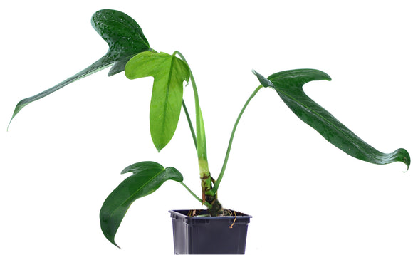 Anthurium truncicola
