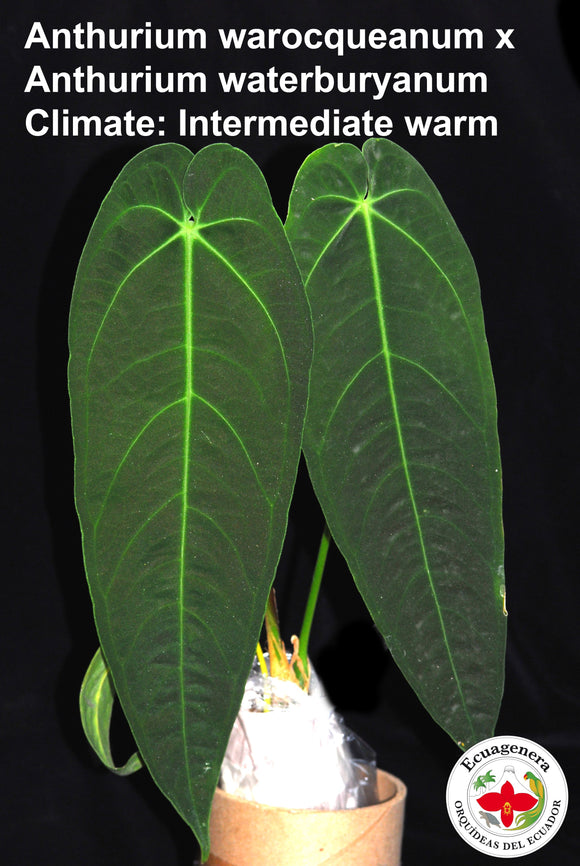 Anthurium warocqueanum x Anthurium waterburyanum