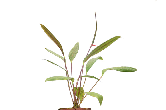 Anthurium gracile seedlings