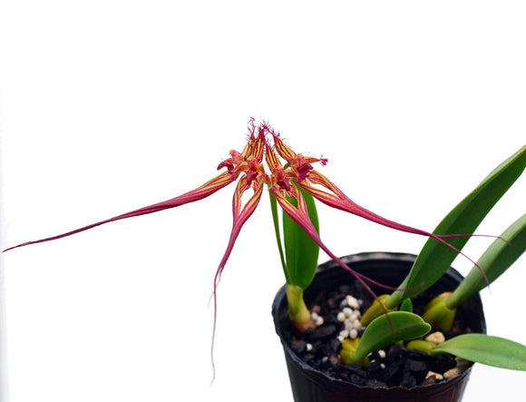 Bulbophyllum colleti