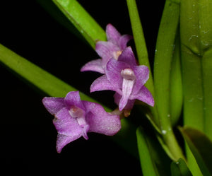 Isochilus linearis