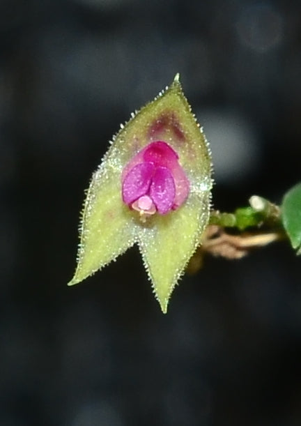 Lepanthes acarina