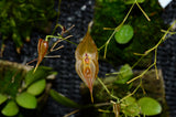 Lepanthes dalessandroi