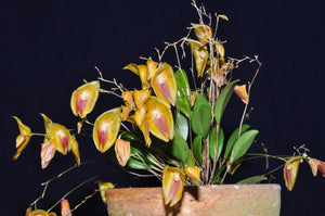 Lepanthes escobarina