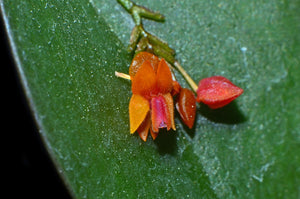 Lepanthes fimbriata