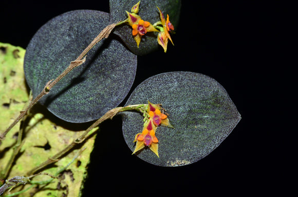 Lepanthes maxillaris