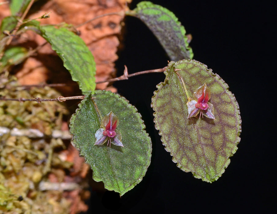 Lepanthes pretiosa