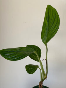 Monstera lechleriana