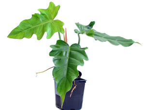 Philodendron lacerum aff