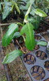 Philodendron panduriforme