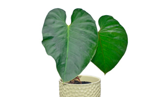 Philodendron werneri