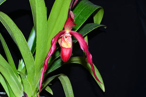 Phragmipedium Ingrid Portilla
