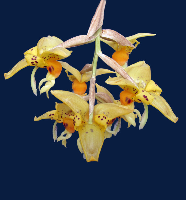 Stanhopea embreei orange