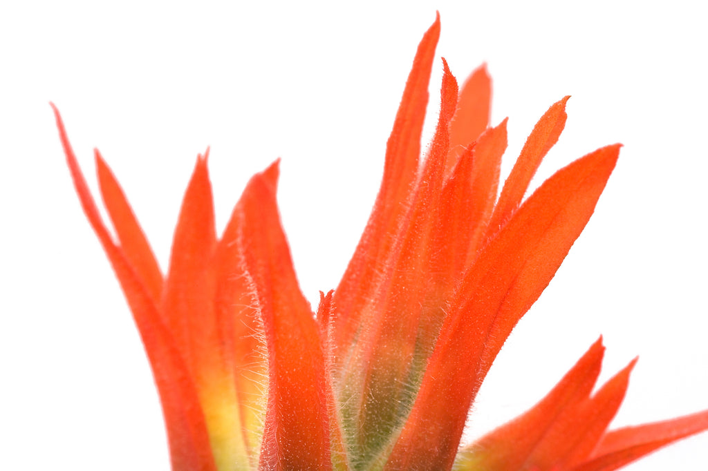 Indian paintbrush wildflower blossom tip