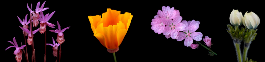 California wildflowers poppy, pink checker bloom, masque flower buds, calypso orchids