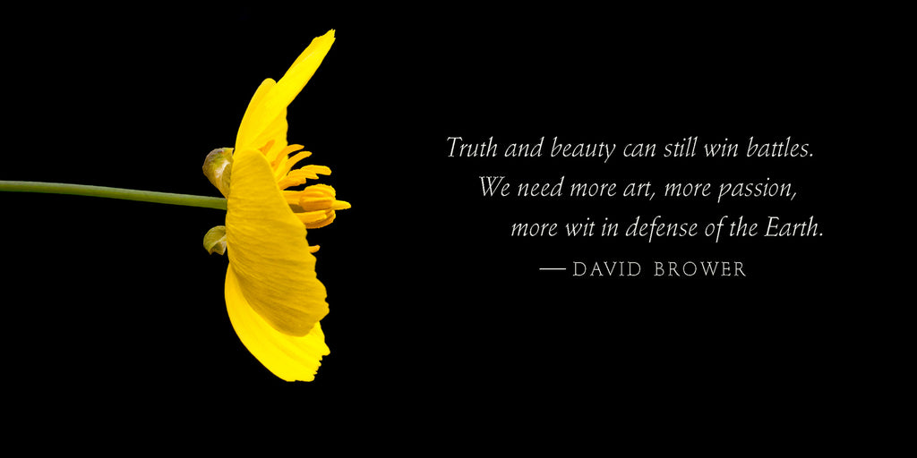 Hello bush poppy blossom with quote by David Brower